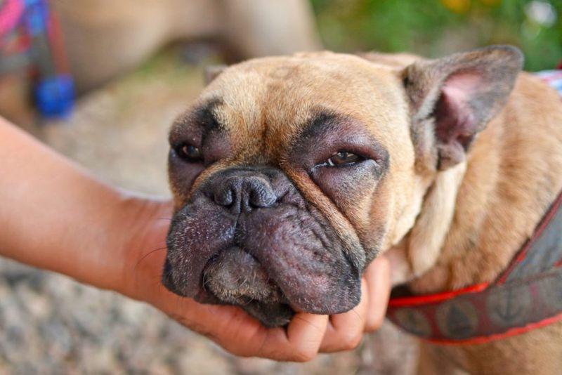 dog allergy swollen face