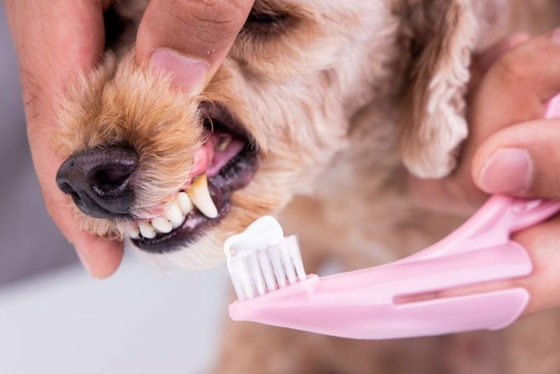 dog toothpaste poultry brushing teeth
