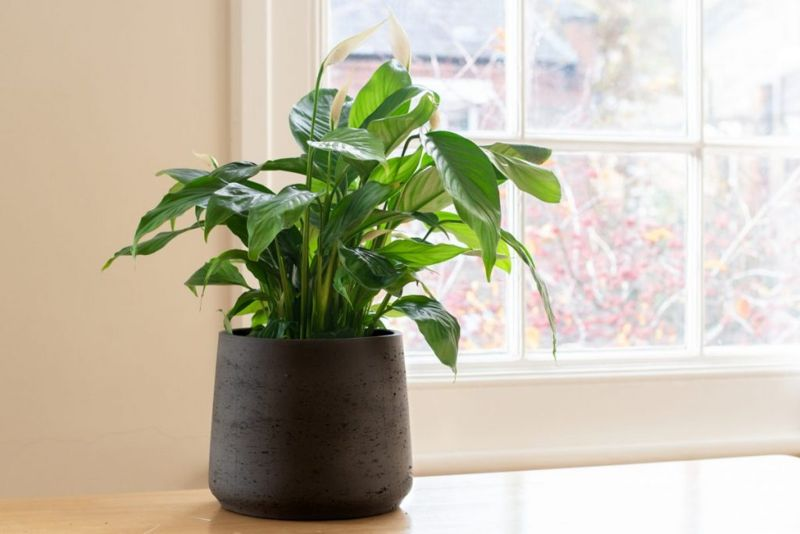 Peace lily in a window