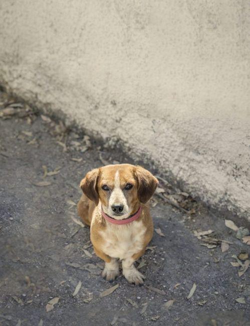 Daschund beagle mix