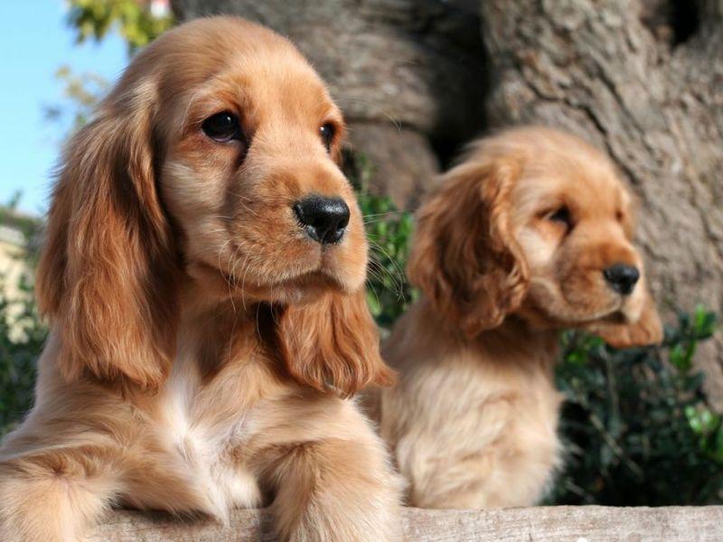 Two cocker spaniel puppies