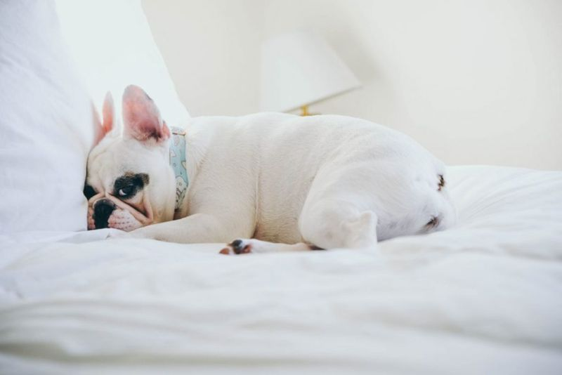 Cute Frenchie Puppy