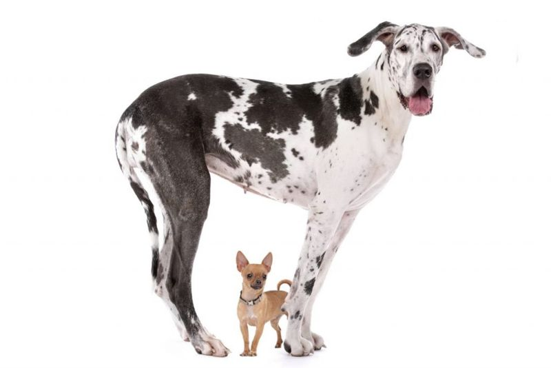 dog, size, breeds, giant, miniature