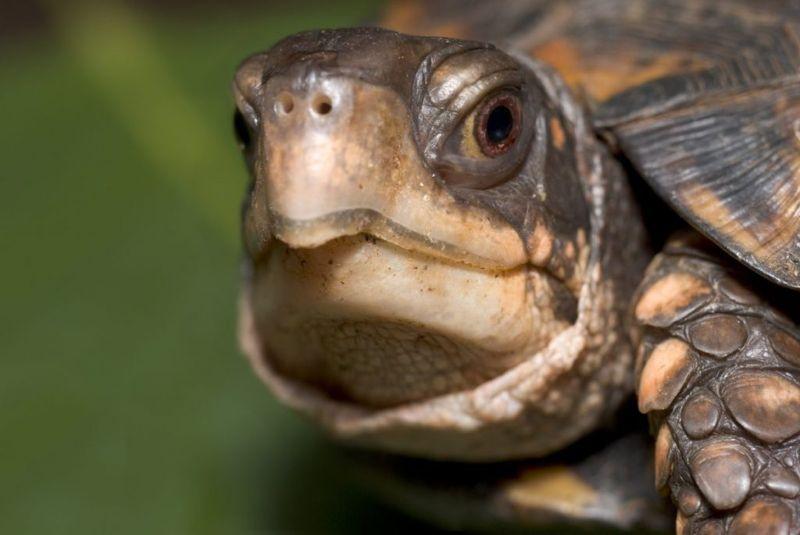 Turtle Salmonella Infection