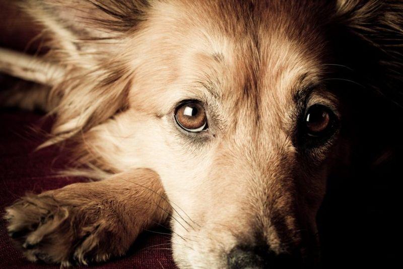 Mumps Lethargy Dog