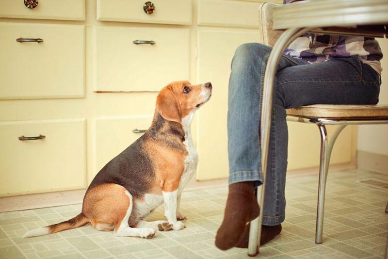 Dog Waiting For Dinner Scraps