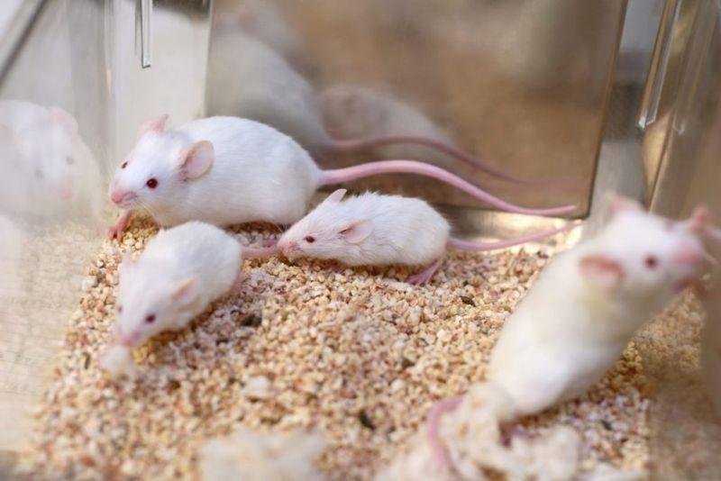 cancer risk, acrylomide, mice, glydidamide