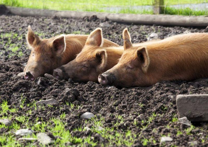 pig mud wallow