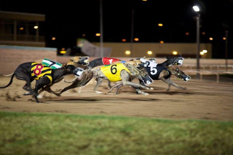 Racing greyhounds at track