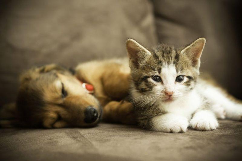cat dog influenza