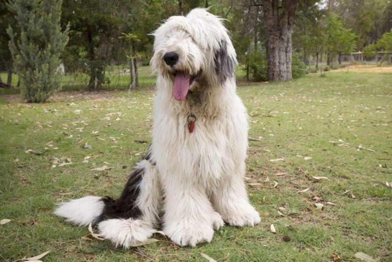 Large, herding dog.