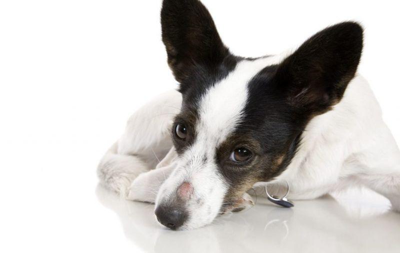 dog ringworm on nose