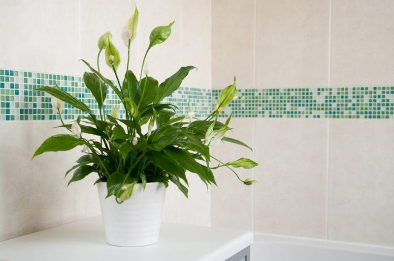 Peace lily with tiled background