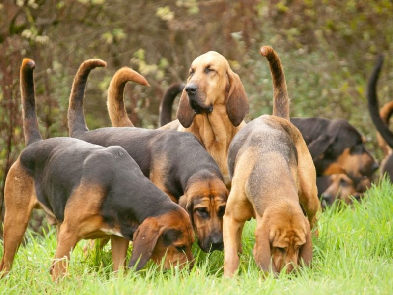 Bloodhound Pack Scent