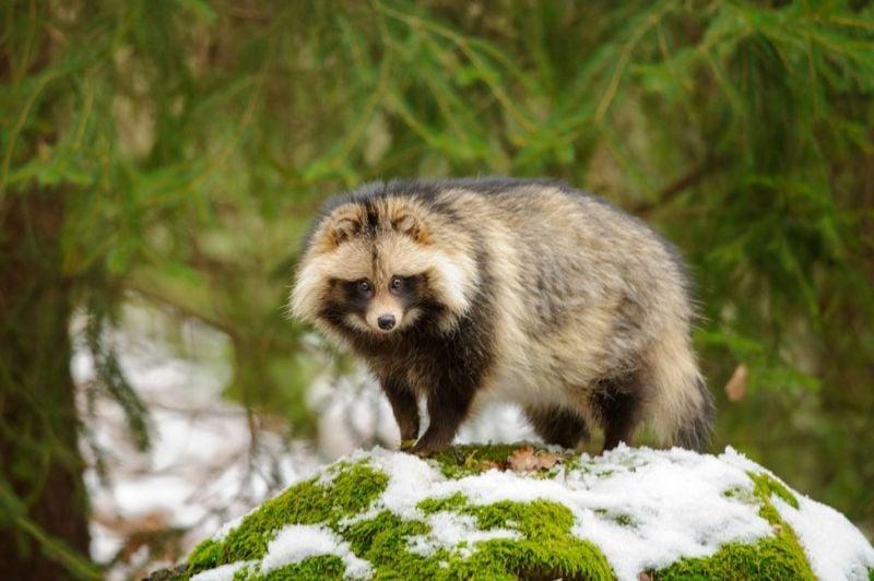 Raccoon dog forest