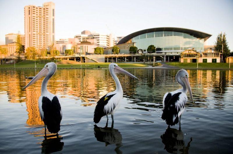 pelican gular fluttering