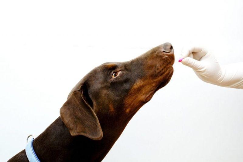 dog Addison's disease medication