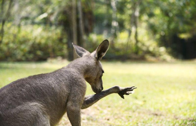 kangaroo licking spit