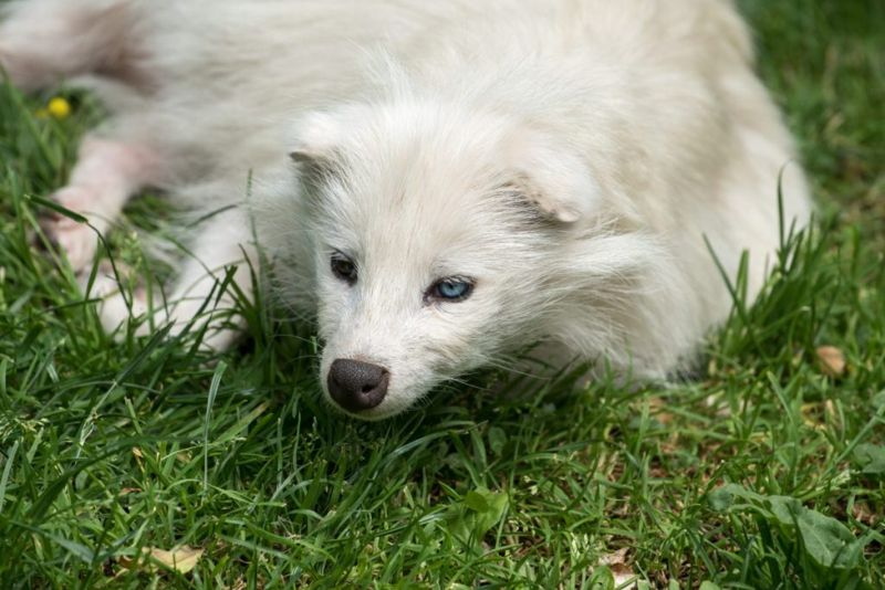 White raccoon dog