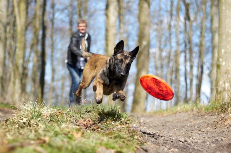 Active healthy dog frisbee
