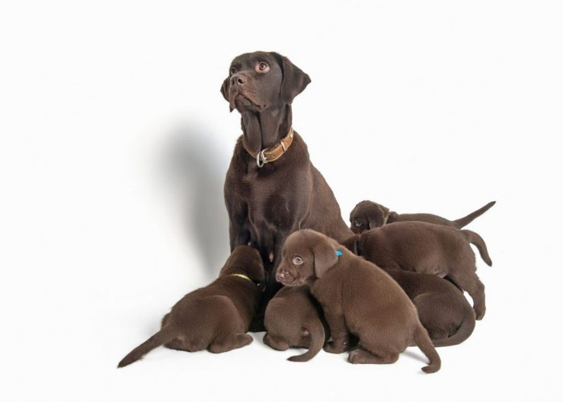 Lab and puppies