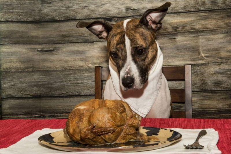Dog starring at chicken