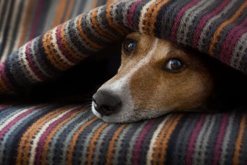 fever symptoms dog unwell temperature