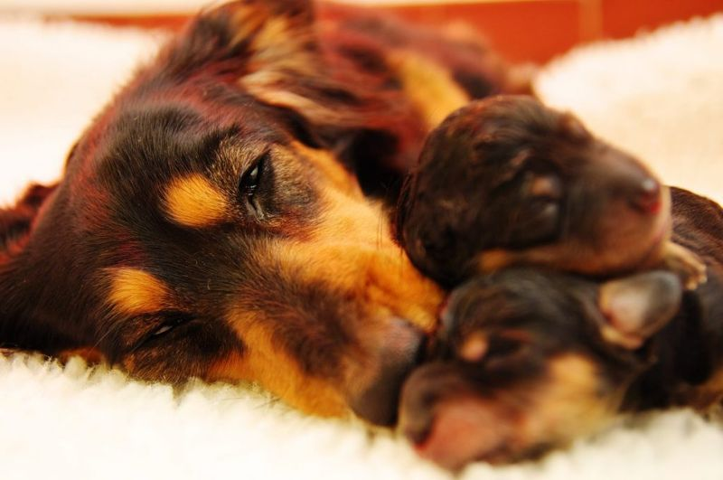 Tired dog and puppies