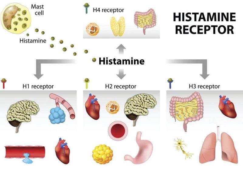 histamine receptor diagram