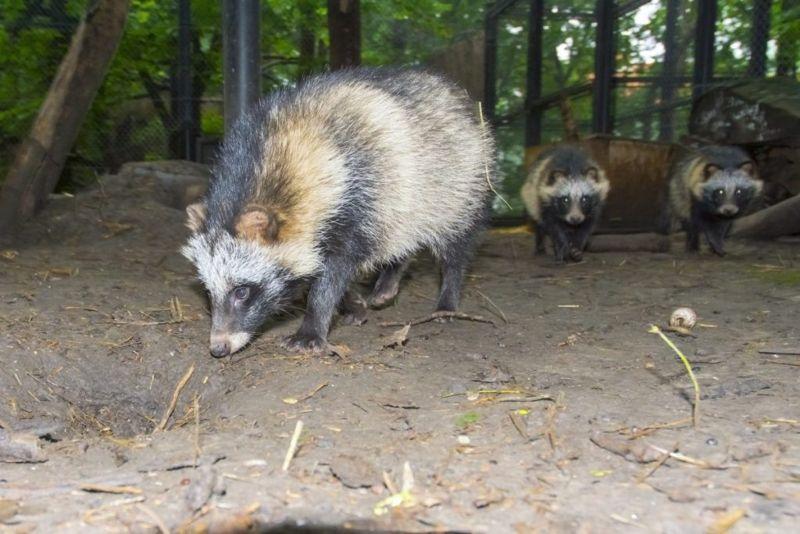 Raccoon dog family