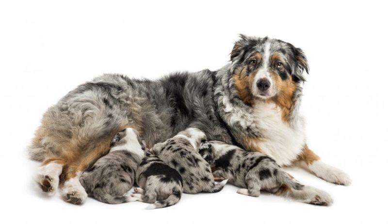 hookworm puppies mother milk