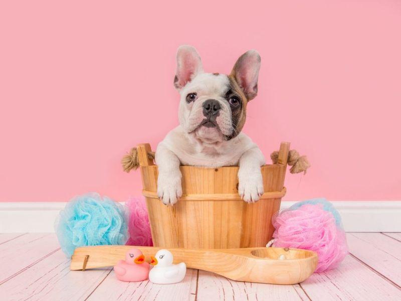 Bulldog Bath Grooming