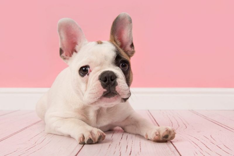 companion french bulldog