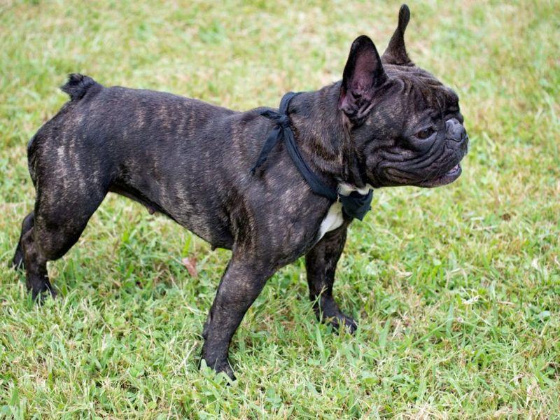 brachycephalic dog pug