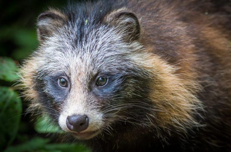 Close up of raccoon dog