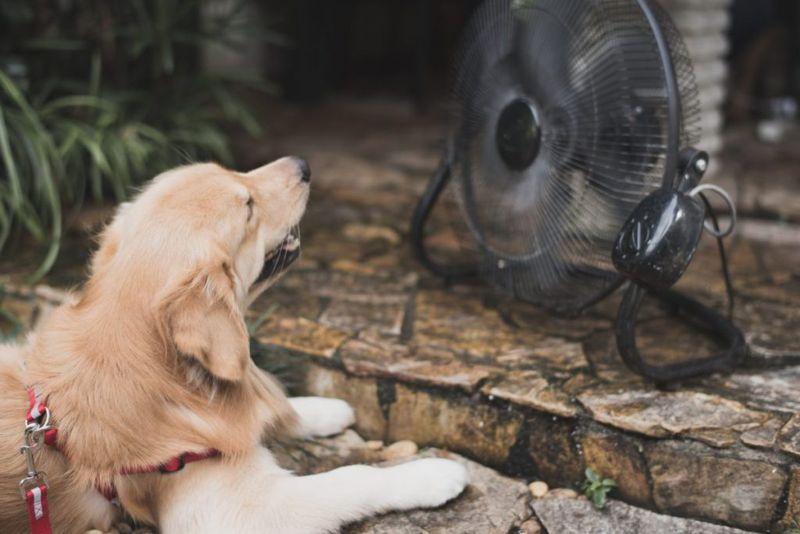 labrador hyperthermia heat stroke temperature