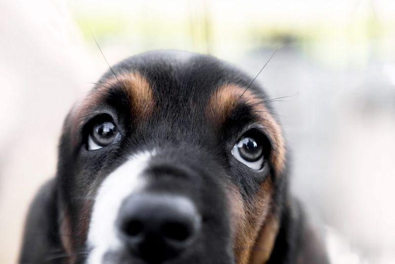 dog, eyes, muscle