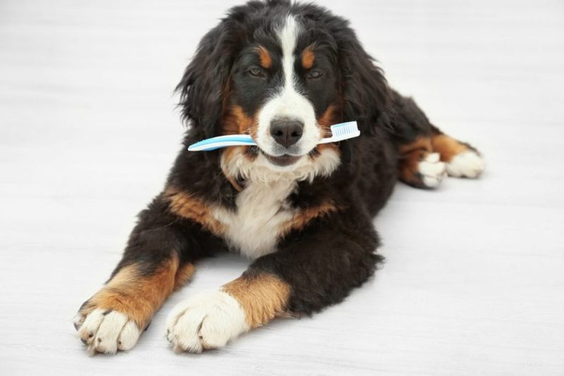 dog canine tooth brush