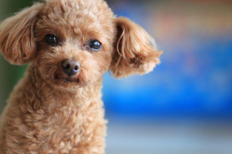 toy small breeds hemorrhagic gastroenteritis