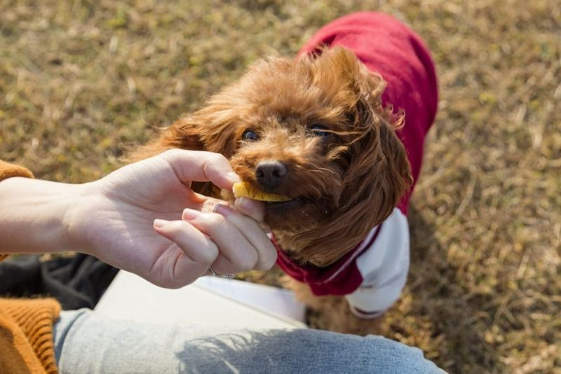 A small dog eating