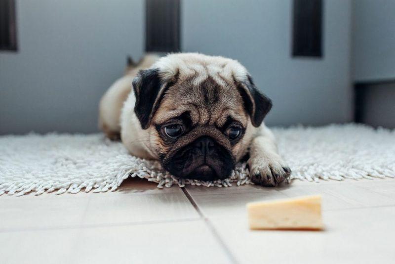 lactose intolerance dogs