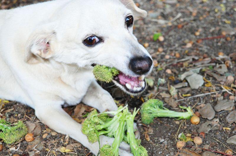 White dog eating broccoli