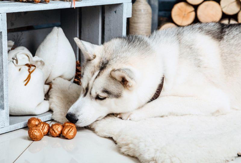 Husky dog on a rug sniffing nuts