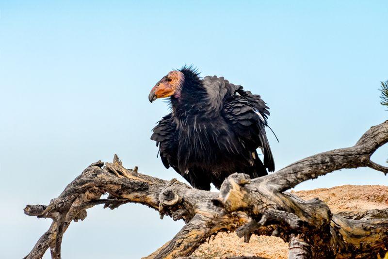 California condor and blue sky