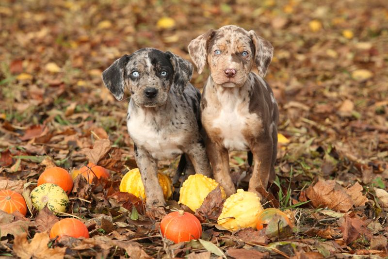 Two Louisiana Catahoula puppies with pumpkins in Autumn