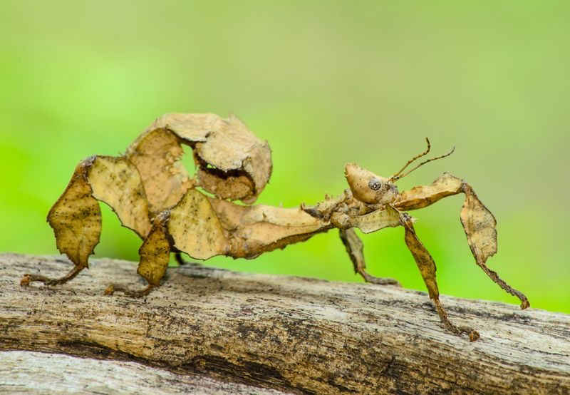 A close-up shot of a Spiny leaf insect