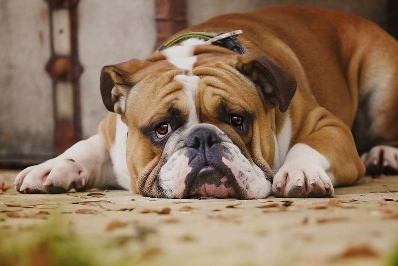 sad english bulldog puppy is waiting