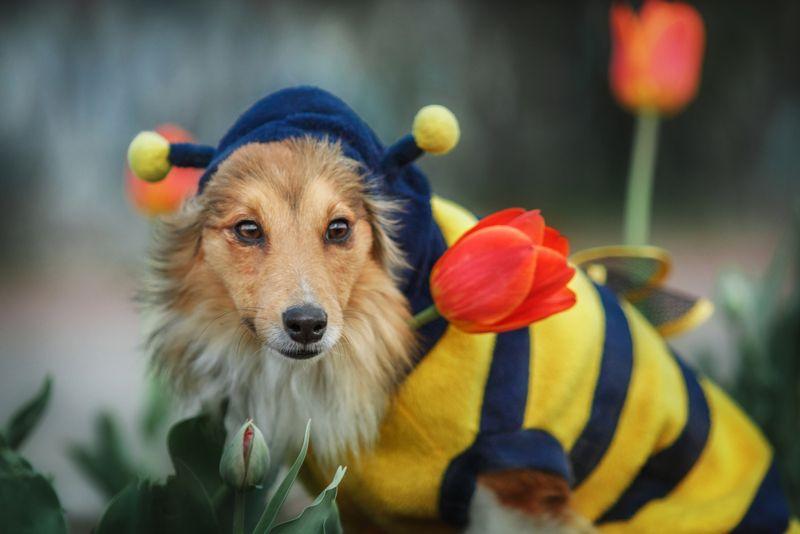 Red Shetland Sheepdog dressing like a bee near beautiful red flowers.