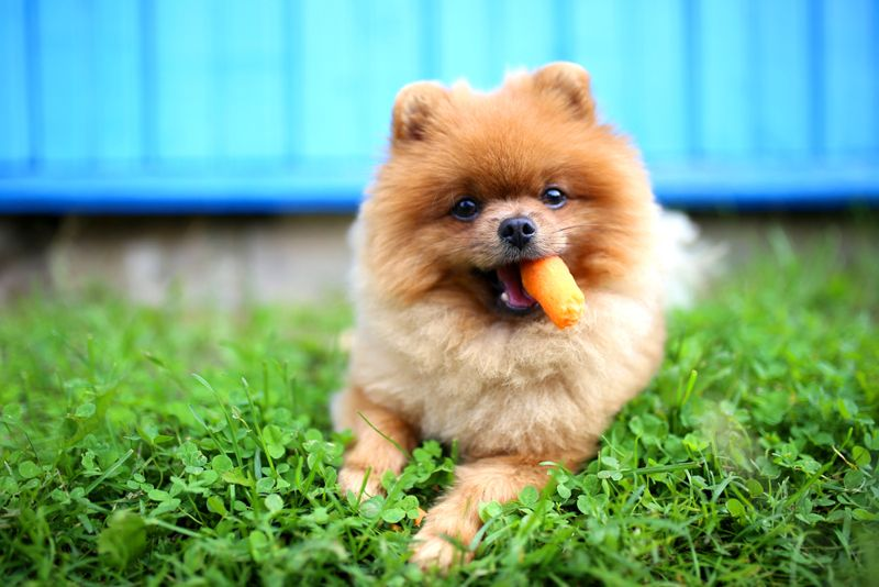 Pomeranian dog eat carrot. Dog outdoor. Beautiful and clever pomeranian dog