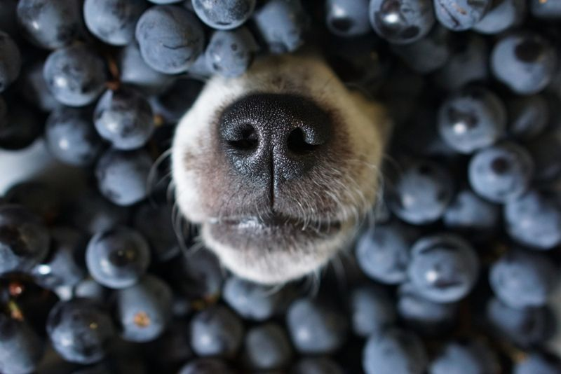 Dog`s nose poking out of black grape